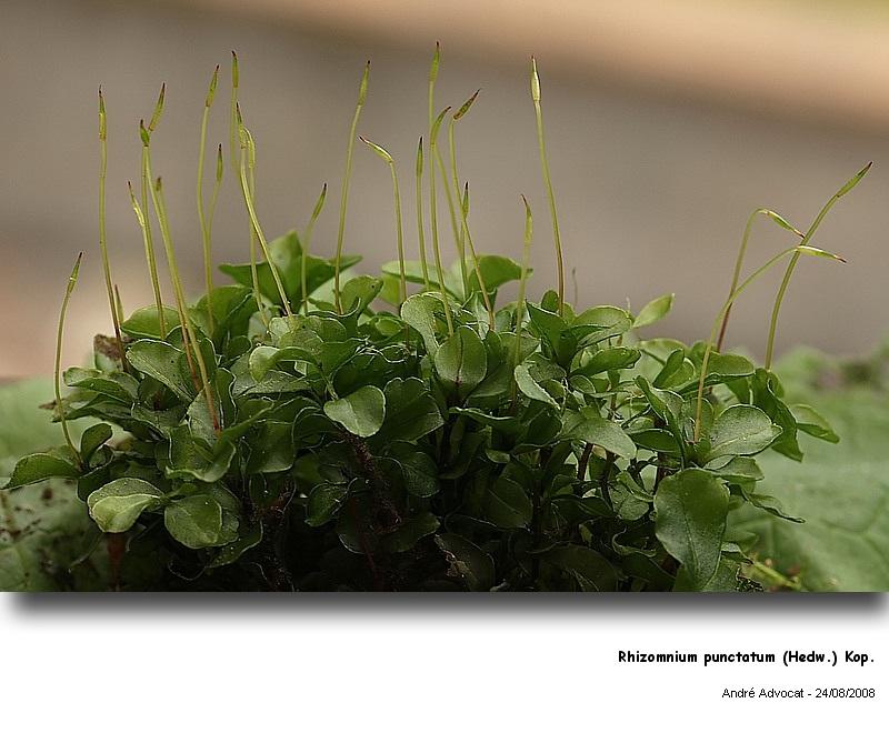 Rhizomnium punctatum (Hedw.) Kop. Rhizom10
