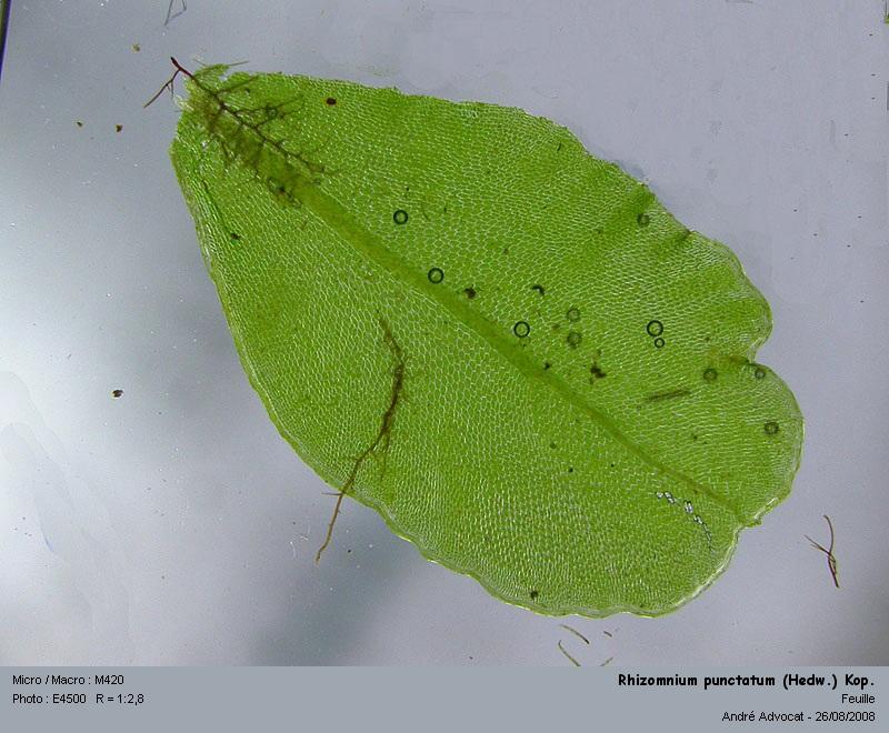 Rhizomnium punctatum (Hedw.) Kop. Rhizom11