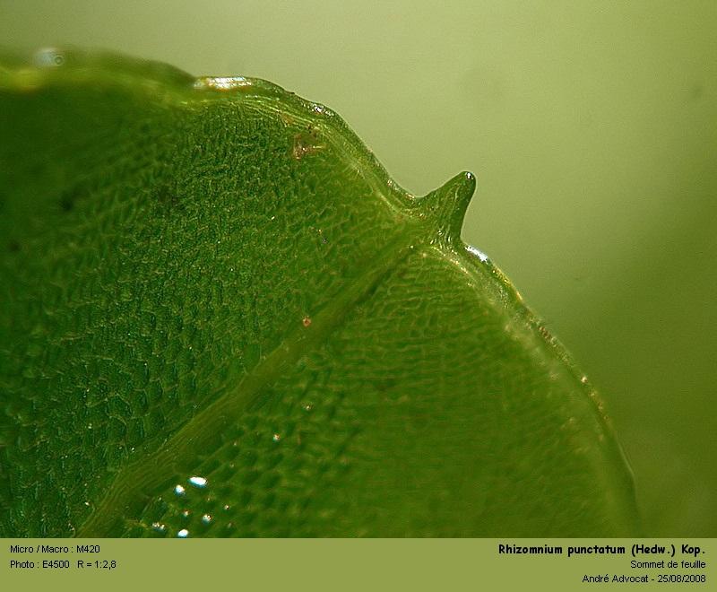 Rhizomnium punctatum (Hedw.) Kop. Rhizom12
