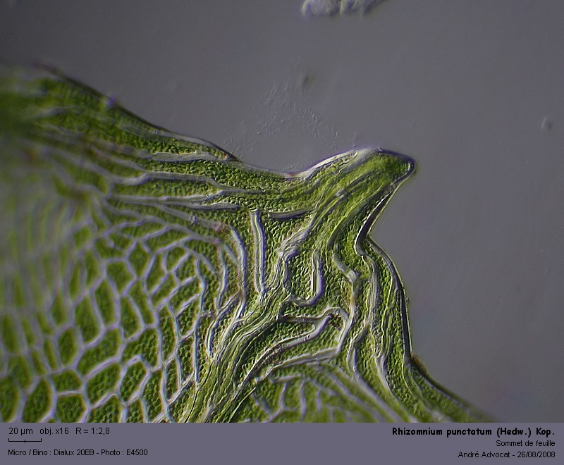 Rhizomnium punctatum (Hedw.) Kop. Rhizom13