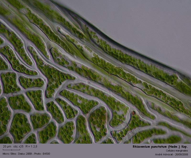 Rhizomnium punctatum (Hedw.) Kop. Rhizom14
