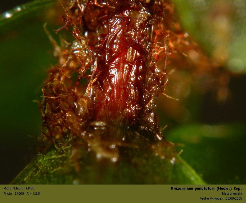 Rhizomnium punctatum (Hedw.) Kop. Rhizom19