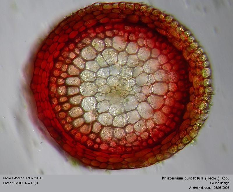 Rhizomnium punctatum (Hedw.) Kop. Rhizom21