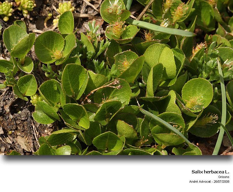 Salix herbacea L. (Saule herbacé) Salix_10