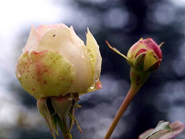 Macro photos aprés la pluie,  dans mon petit jardin ...... 1612