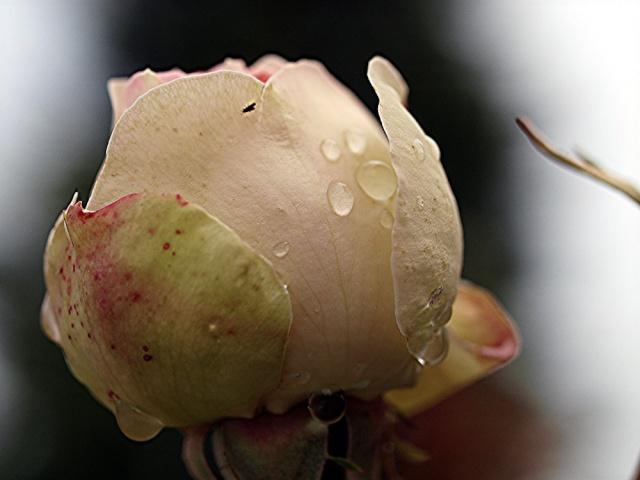 Macro photos aprés la pluie,  dans mon petit jardin ...... 1812