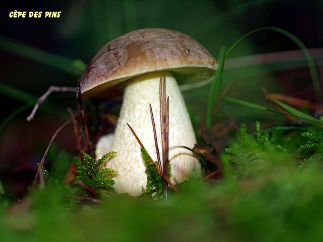 Champignons de nos forêts Pb113519