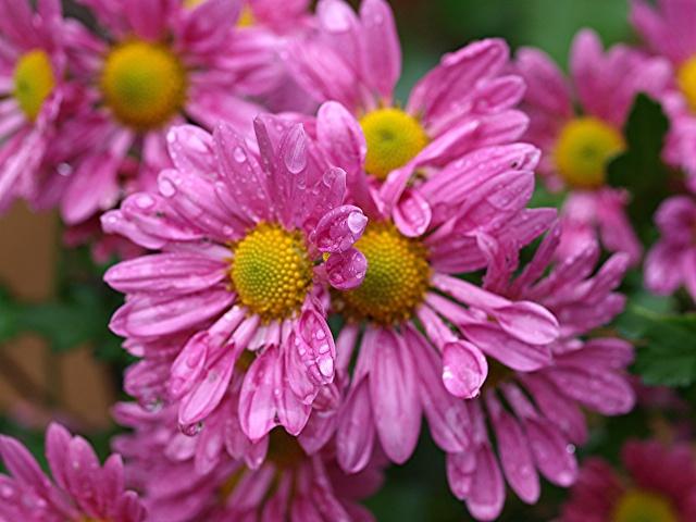 Macro photos aprés la pluie,  dans mon petit jardin ...... Photo137