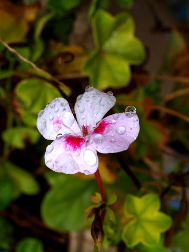 Macro photos aprés la pluie,  dans mon petit jardin ...... Photo148