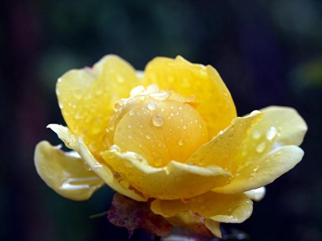 Macro photos aprés la pluie,  dans mon petit jardin ...... Photo_43