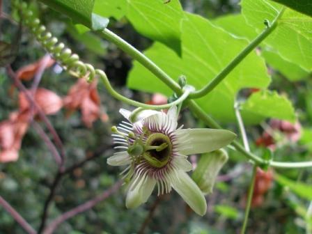 Dos Passifloras que ignoro cuales son Passif11