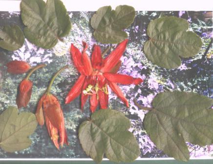Dos Passifloras que ignoro cuales son Passif12