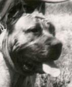 Dogo/presa canario