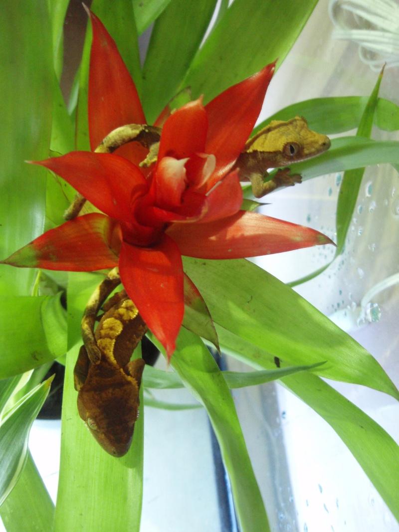 3 p'tits rhacos ciliatus Pb200011