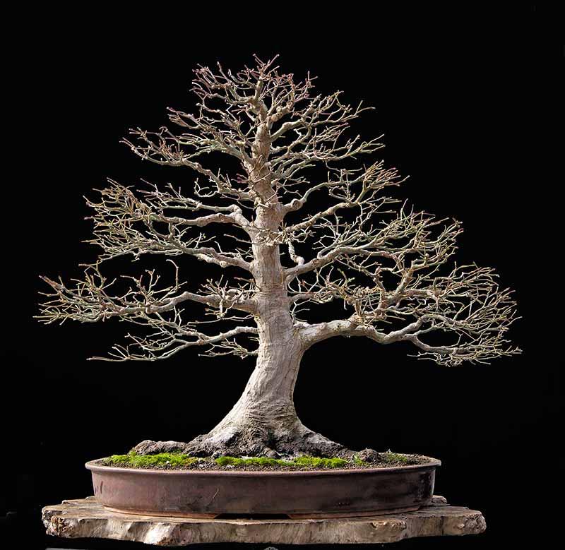 "Refurbishing a Japanese Maple - the ""Hedge Cutting Method"" 2012-110"