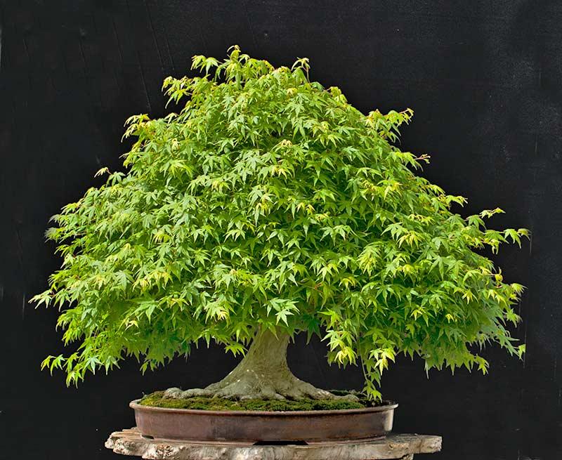 "Refurbishing a Japanese Maple - the ""Hedge Cutting Method"" 2013-010"