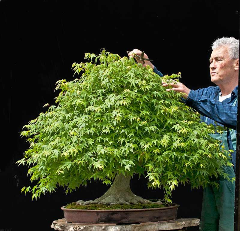 "Refurbishing a Japanese Maple - the ""Hedge Cutting Method"" 2013-011"