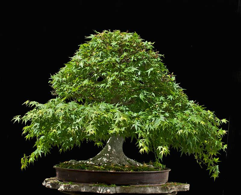 "Refurbishing a Japanese Maple - the ""Hedge Cutting Method"" 2013-016"
