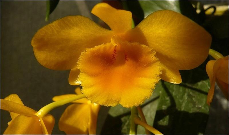 Dendrobium chrysotoxum Dendro13