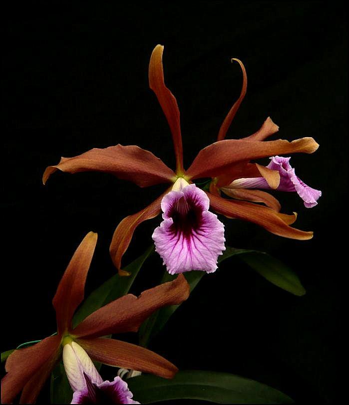 Cattleya (Laelia) tenebrosa #1 Laelia10