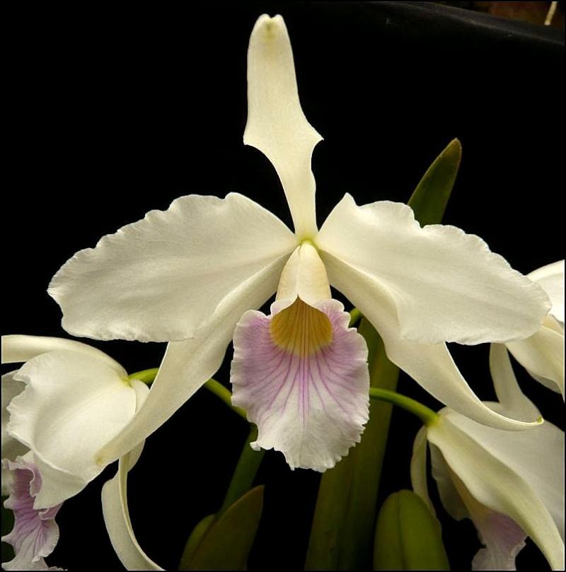 Cattleya purpurata var. canhanduba Laelia23