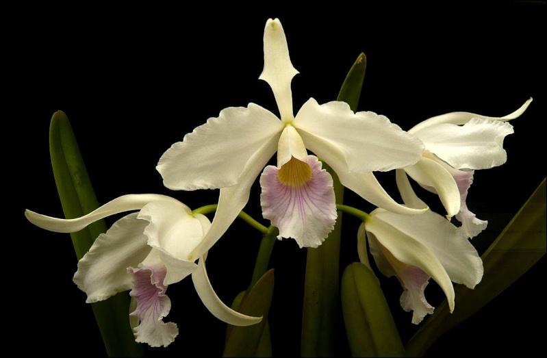 Cattleya purpurata var. canhanduba Laelia24