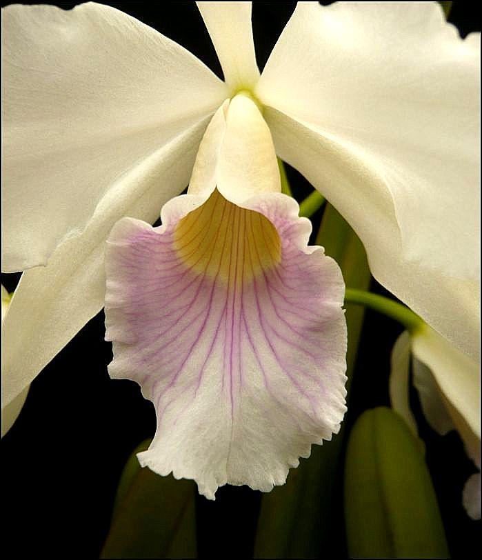 Cattleya purpurata var. canhanduba Laelia25
