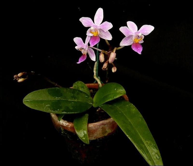 Phalaenopsis equestris Phalae11