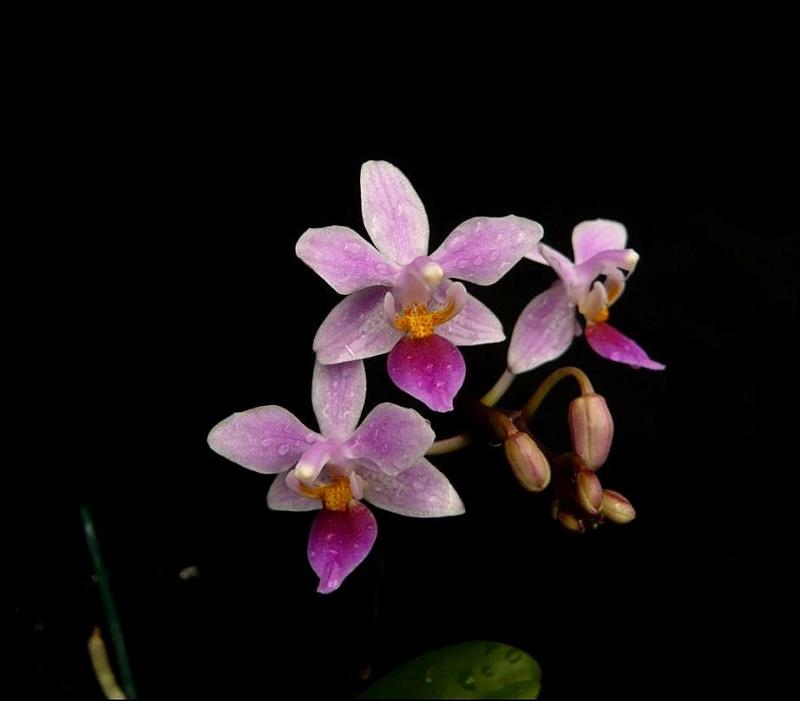 Phalaenopsis equestris Phalae12
