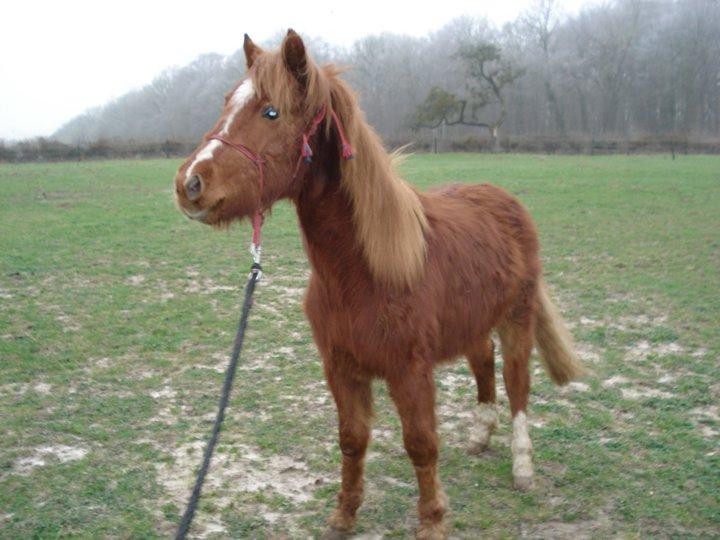 GUUS, est un poney welsh né en mai 2009 (ADOPTE) 16902410