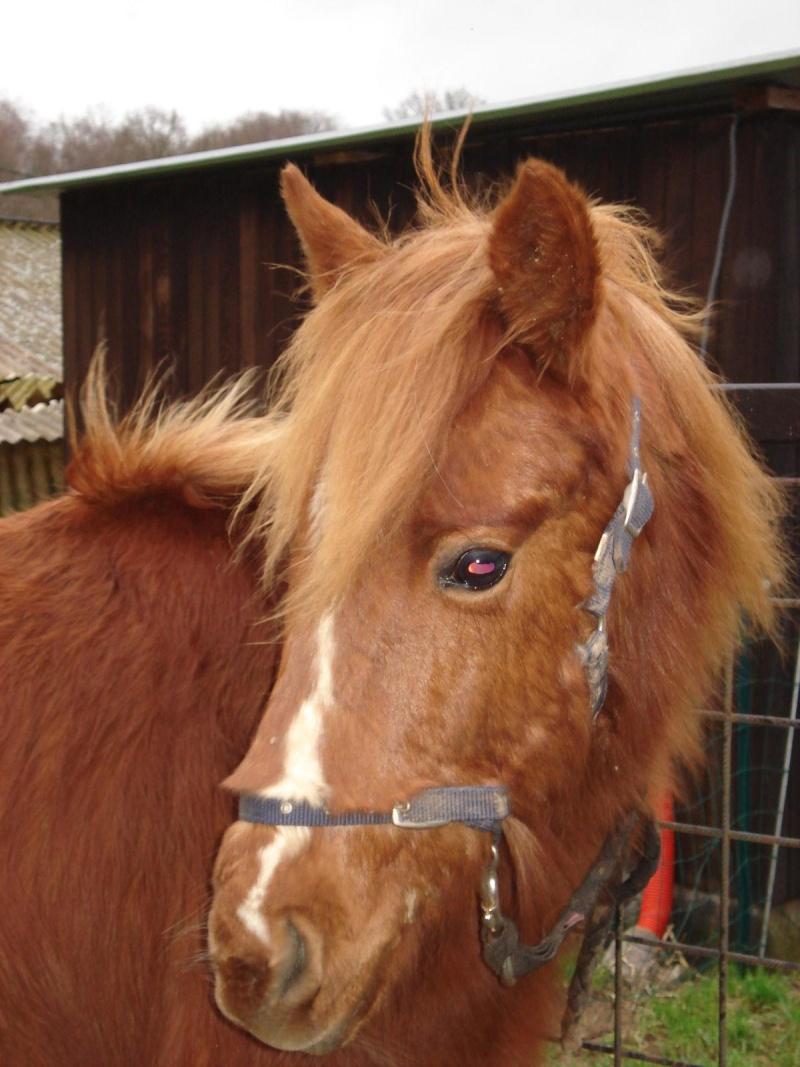 GUUS, est un poney welsh né en mai 2009 (ADOPTE) Dsc06910