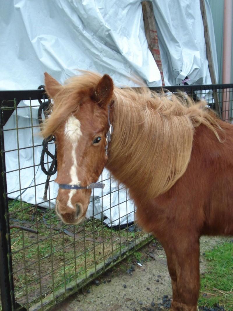 GUUS, est un poney welsh né en mai 2009 (ADOPTE) Dsc06912