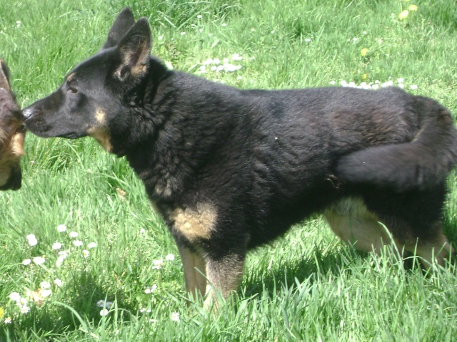KURT mâle berger allemand 9 ans (Dysplasique) Dsc06214