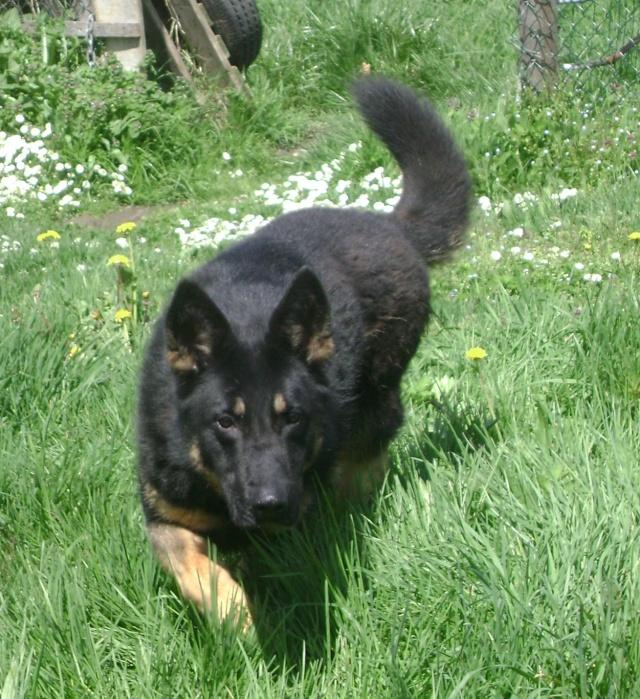 KURT mâle berger allemand 9 ans (Dysplasique) Dsc06217