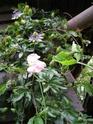 première floraison au jardin...suis contente ! Passif10