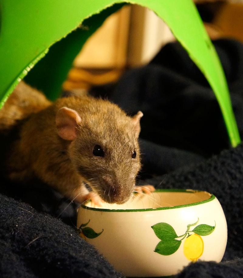 Sauvetage des 25 rats dans les Landes - Page 11 Dsc06514