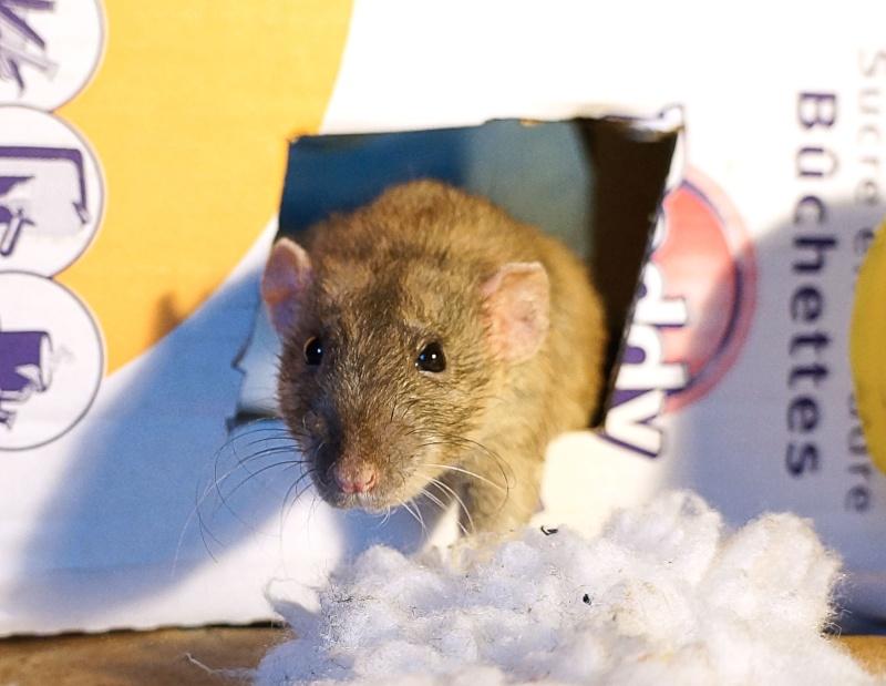 Sauvetage des 25 rats dans les Landes - Page 11 Dsc06814