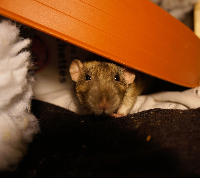 Sauvetage des 25 rats dans les Landes - Page 11 Dsc07010