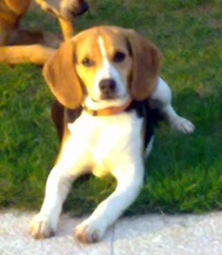 FILOU, beagle mâle, 7 mois 07102010