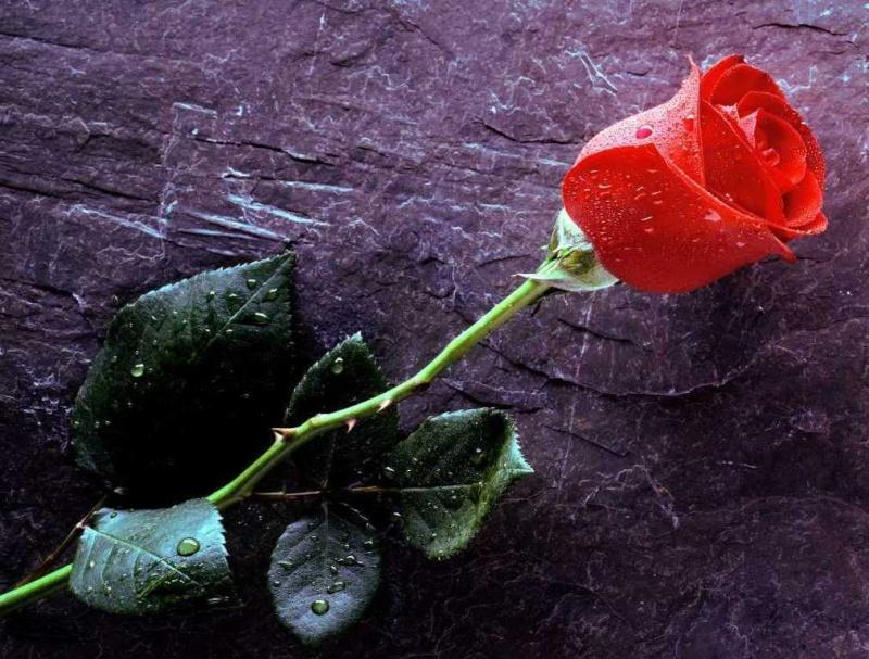 Tu n'es plus là, Rose10