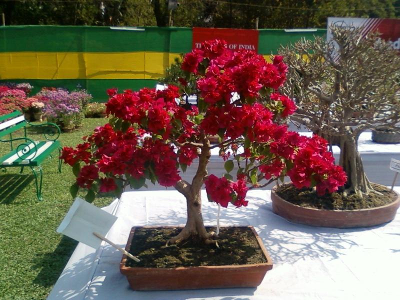 my bougainvillea bonsais...please give your comments Bougi10