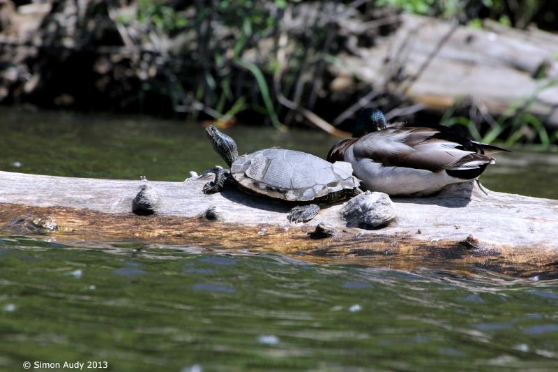 Colvert et... tortue!! Img_2710