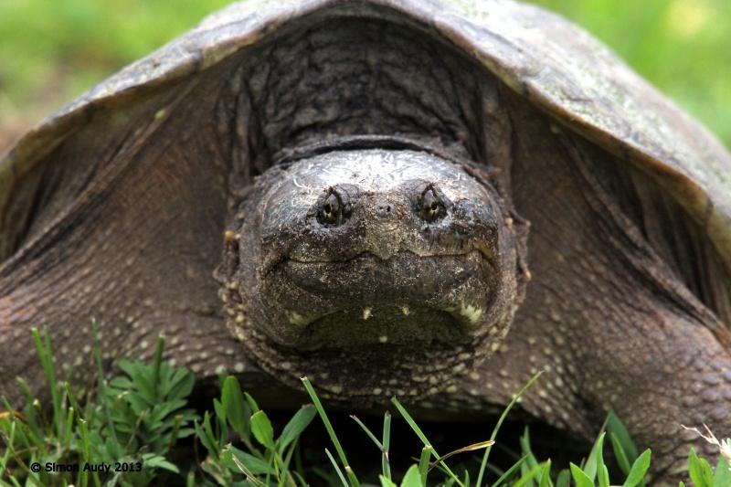 Portrait de tortue serpentine Img_3111