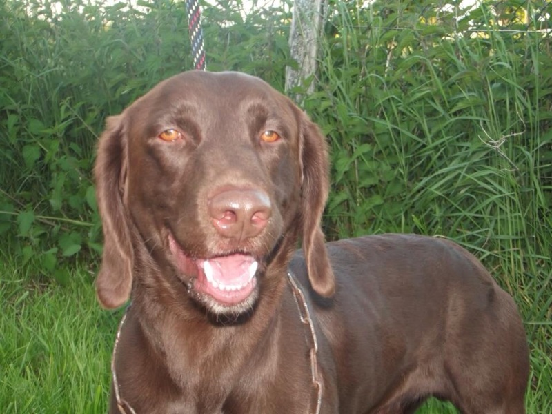 UNE FA pour Roucky x Labrador de 3 ans Roucky16