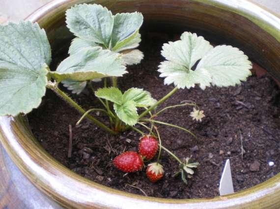 la culture du fraisier - Page 7 30_mai34