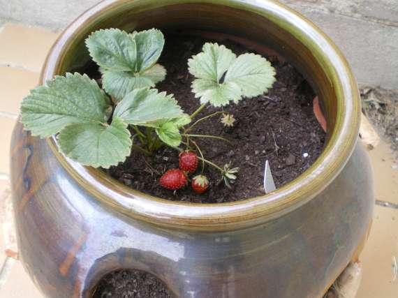 la culture du fraisier - Page 7 30_mai35