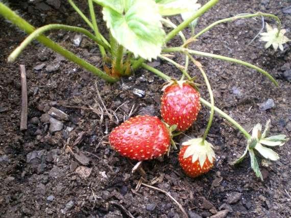 la culture du fraisier - Page 7 30_mai36