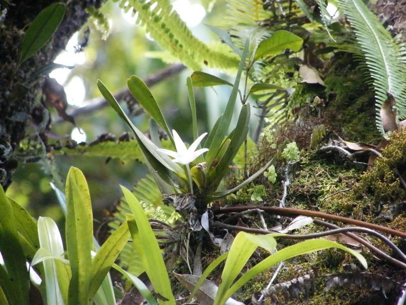 Floraison d'A. liliodorum? Dscf9210