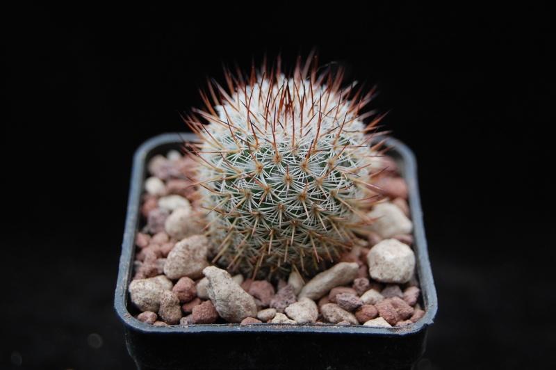 Mammillaria haageana 5502-210