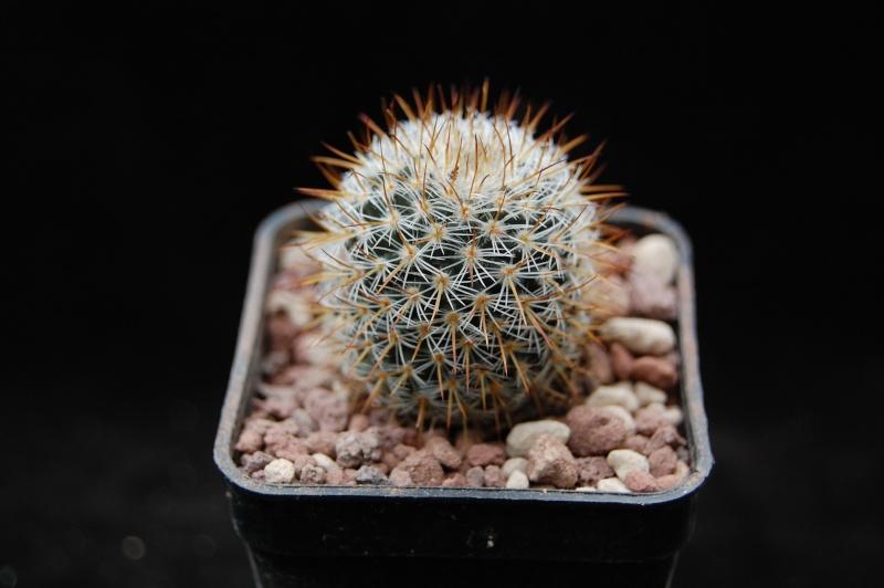 Mammillaria haageana 5506-210